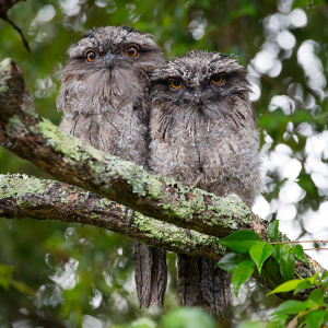 2 fluffy owls in tree during day