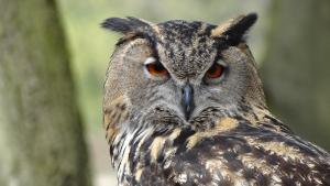 close-up of black grey owl head