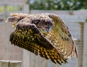 serpent owl flying with curved wings